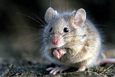 属鼠人的爱情软肋与恋爱原则