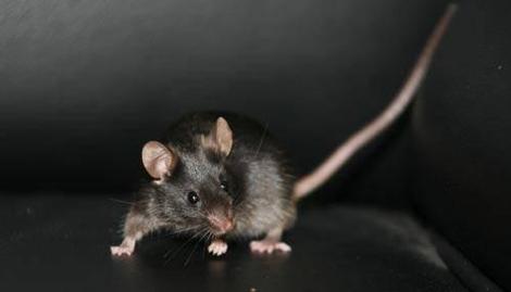 梦见抓到老鼠后打死了是什么意思