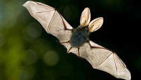 家里飞进蝙蝠是有什么预兆呢